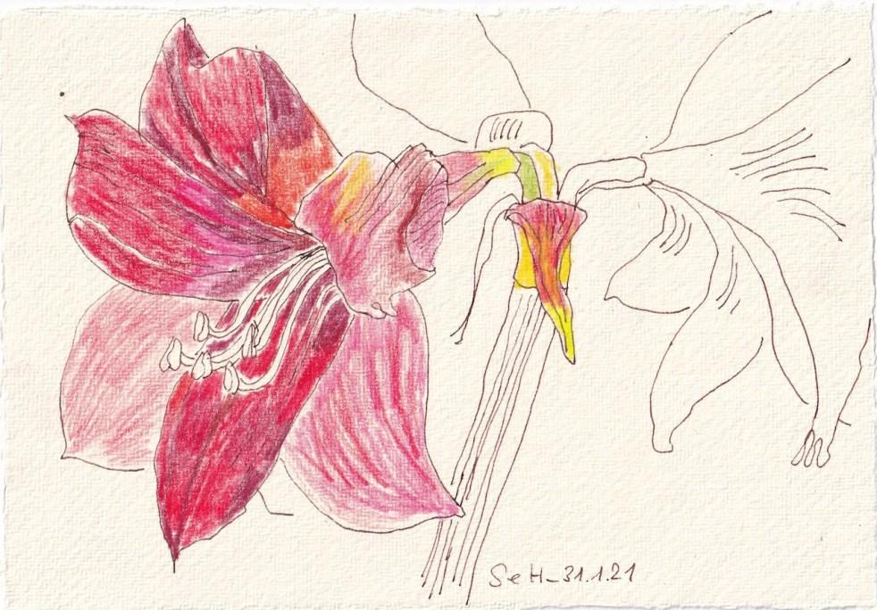 Tagebucheintrag 31.01.2021, Amaryllis in Rot, 20 x 15 cm, Tinte und Buntstift auf Silberburg Büttenpapier, Zeichnung von Susanne Haun (c) VG Bild-Kunst, Bonn 2021