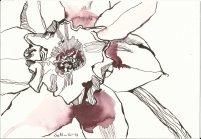 Narzissen 18 x 26 cm Tusche auf Hahnemühle Bütten (c) Zeichnung von Susanne Haun Vers. 2