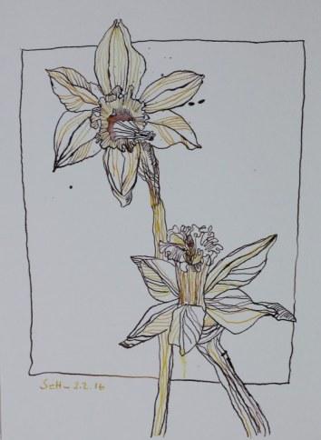 Narzissen 2016 - Version 2 (c) Zeichnung von Susanne Haun