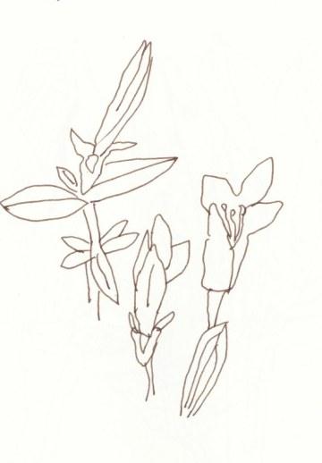 2 Enzian aus dem Garten meiner Eltern (c) Zeichnung von Susanne Haun