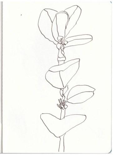Buchsbaum (c) Zeichnung von Susanne Haun