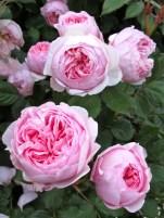 'Geoff Hamilton' roses