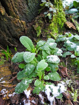Frost covered Primrose leaves
