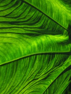 Emerald green leaf