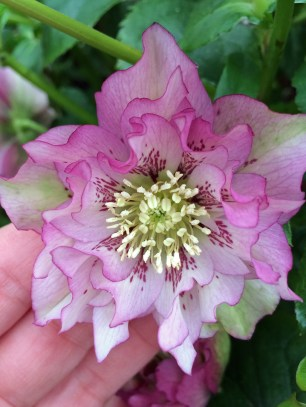 Spotted double hellebore