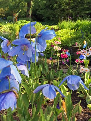 Blue Poppies and Primulas