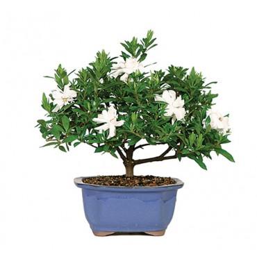 Gardenia Bonsai Tree from The Soothing Company, Retail $40. Bonsai Trees Cure a Gardener's Mid-Winter Blues