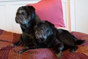 Pugs on the bed inside Go Cottage
