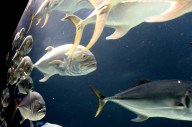 Schooling fish in a large tank