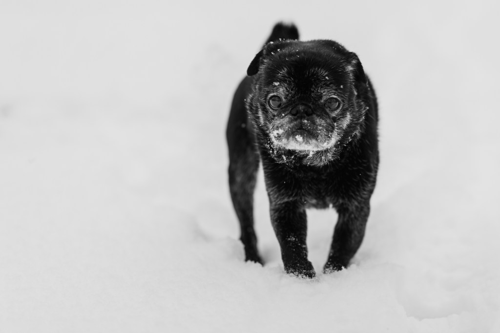 Black pug in snow in black and white