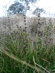 Wild mint growing in the paddock near the Grampians.