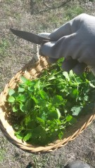 Basket full of nettles