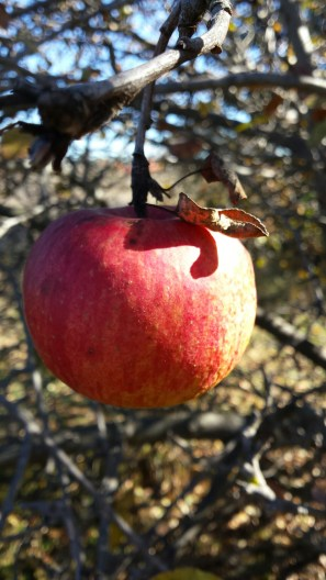 Wild apples in Jerrabomberra