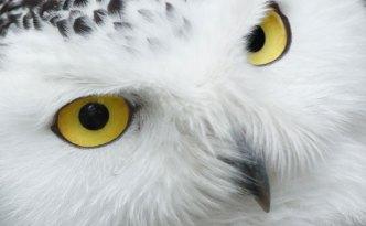 snowy-owl-eyes