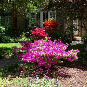 East Mt. Airy Azaleas by Susan Windle