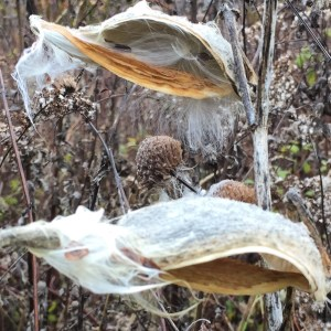 Milkweed Pods by Susan Windle