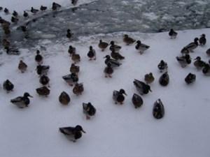 Ducks on a frozen pond, Vigelands Park, Oslo, Norway