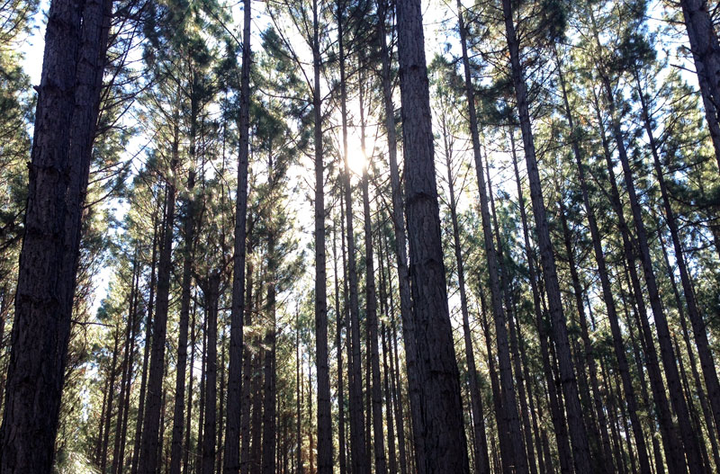 pine_or_plastic