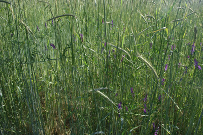 mixture of rye and vetch cover crops