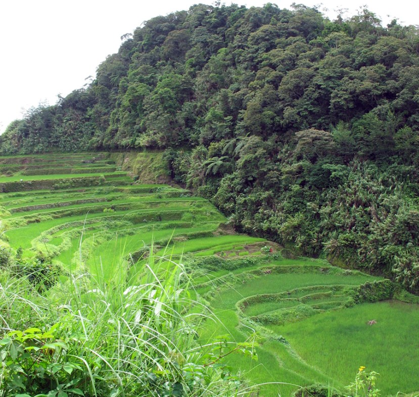 Green trees in backgound; terraces of green rice growing along mountainside