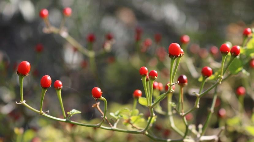 wild chile plant