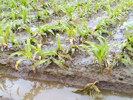 pequeñas plantas de maíz en campos inundados