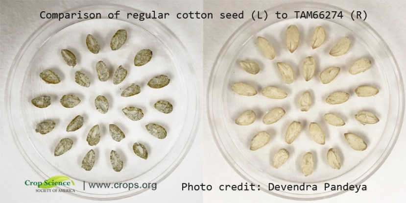 two clear dishes with seeds. on the left the seeds are darker. on the right seeds are lighter in color meaning they have less gossypol