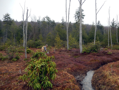 Cranberry bog in West Virginia looks swampy surrounded by forest and small stream