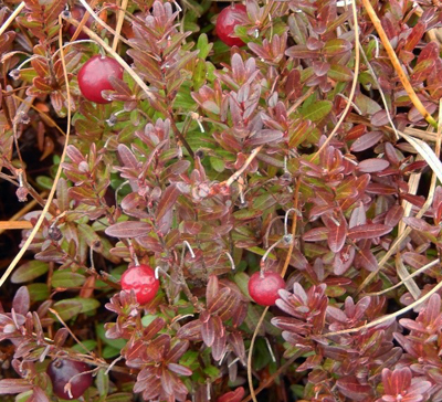 Small red cranberries on a small-leafed bush with green leaves