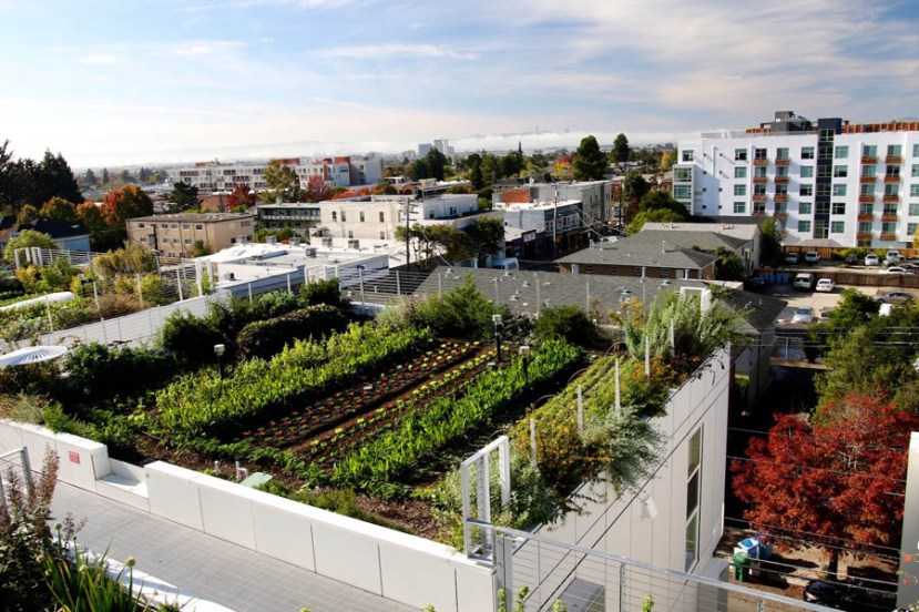 Flat tops of city buildings showing green produce growing in rooftop gardens. Street below. Not all roofs have gardens.