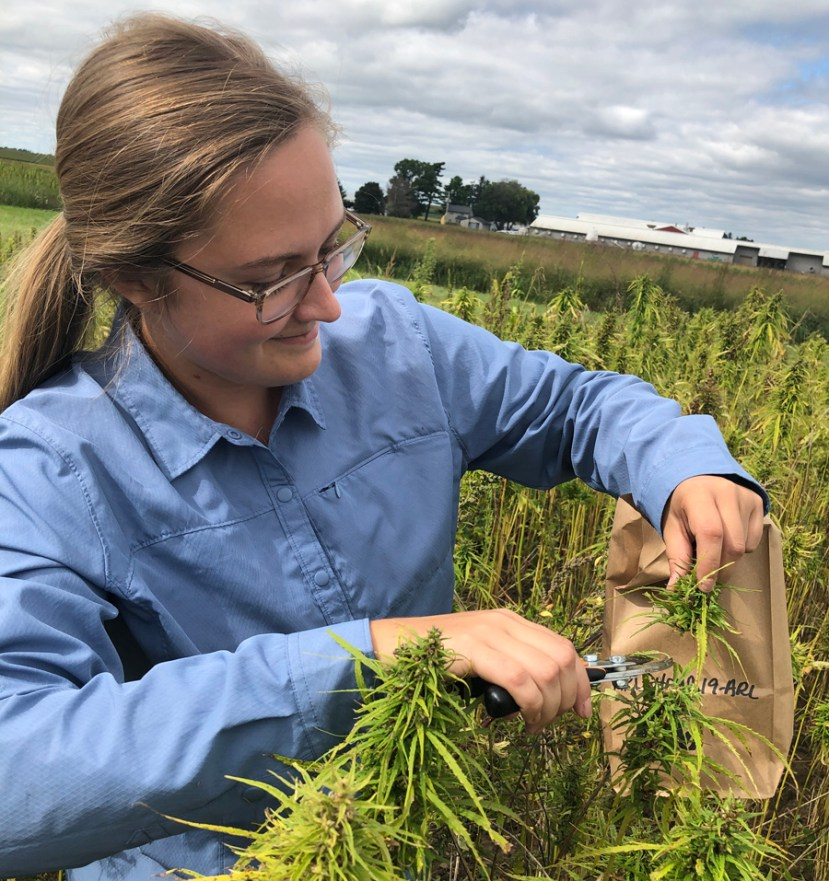 woman with ponytail and glasses cutting tips off hemp plants