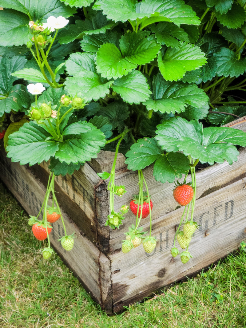 Wooden box growing green strawberry plants with a few ripe, red strawberries hanging off the side