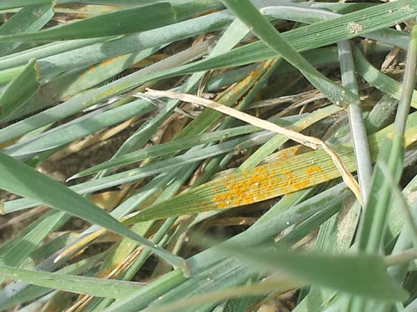 Orange powdery mildew - called rust - on barley leaves