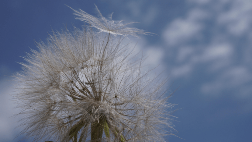 dandelion seeds and sky in background