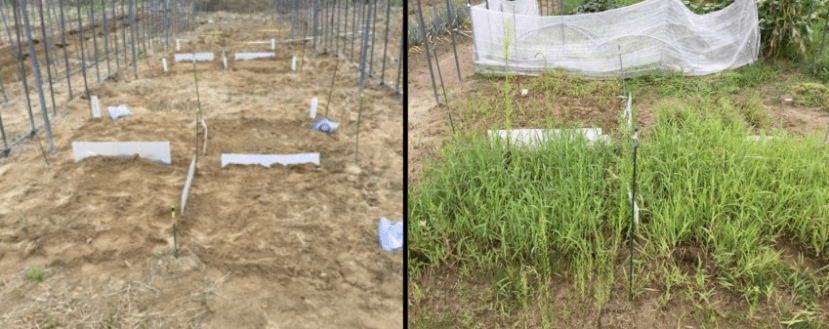 two photos showing plots of green manure growing