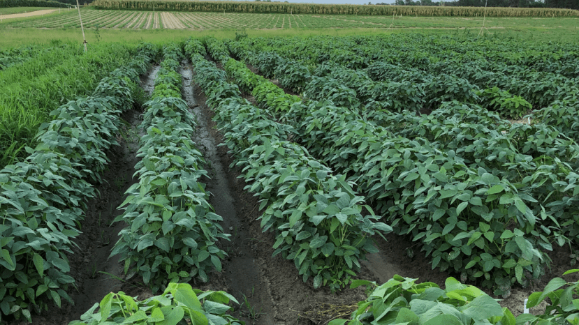 soybeans with different heights in a field, demonstrating genetic diversity