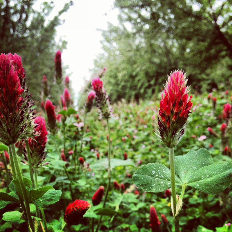 Red clover flowers and green leaves between large almond trees