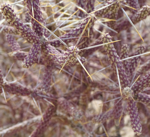 purple cactus stems with large thorns