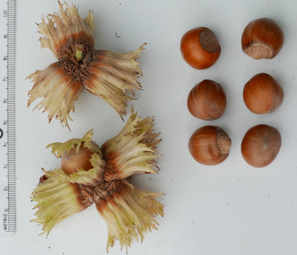 Hazelnut husks next to the brown-colored nuts. A metric ruler shows the unshelled-nuts are about 1.5 cm in diameter.