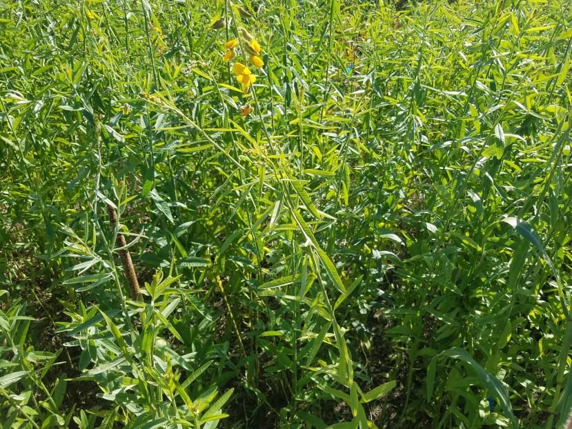 sunn hemp plants in field