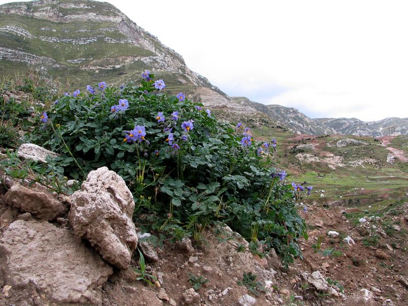 purple flowers with dark green leaves on a rocky hillside