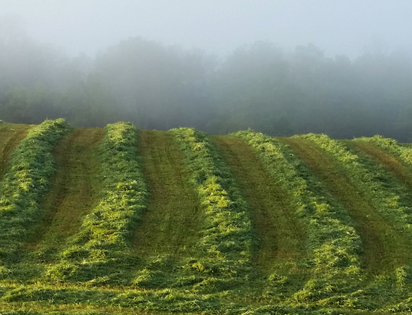 Foggy field with rows of green cut hay