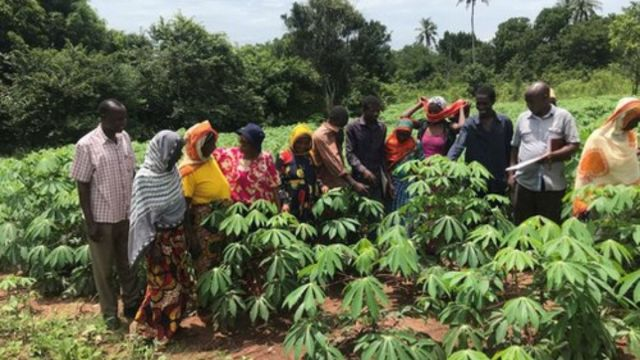 iita relating with cassava growers group in their farms