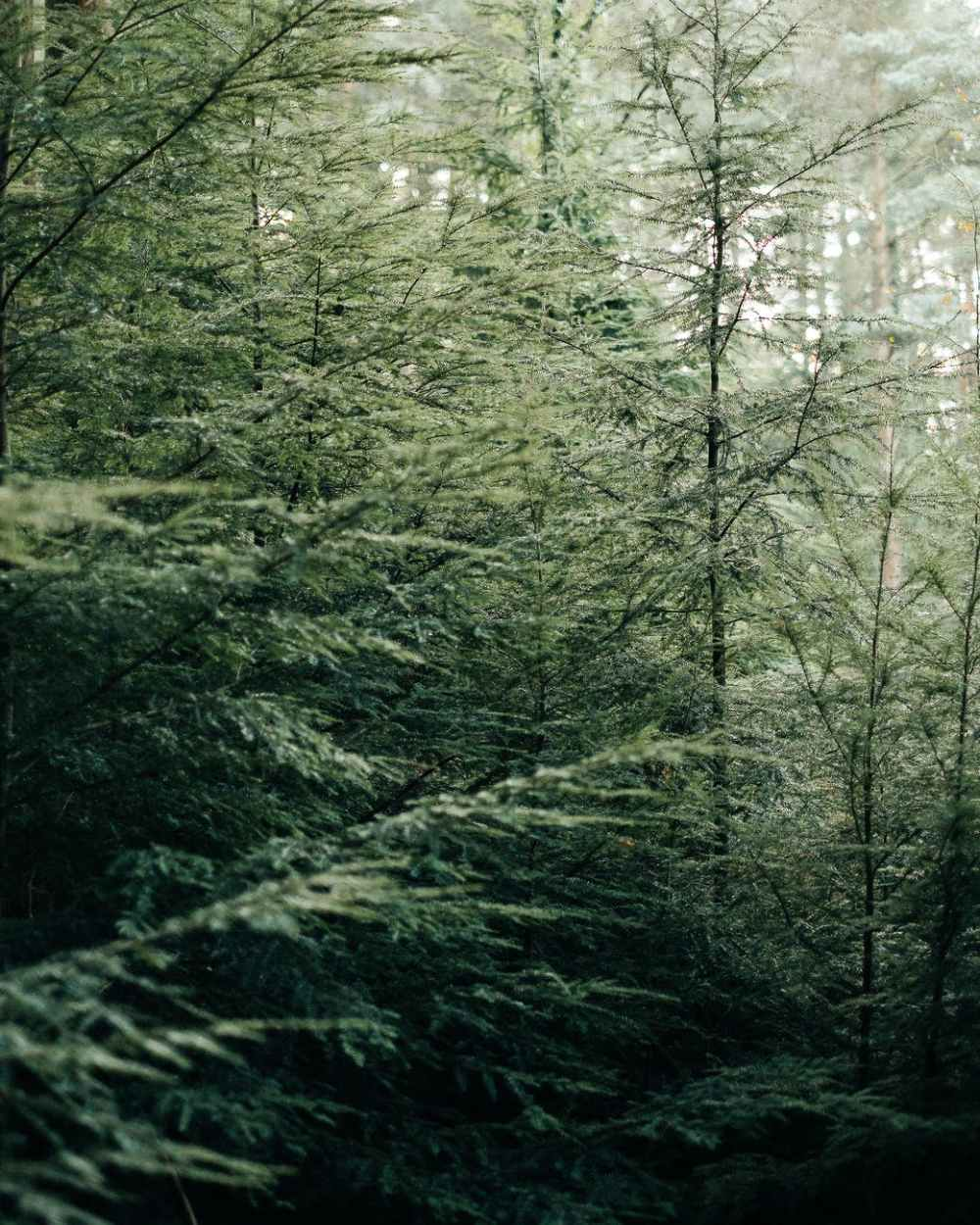 green spruce forest in daytime
