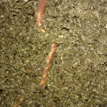Red wriggler compost worm and vermicompost April 2013