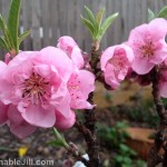 Pink blossoms on dwarf nectarine tree
