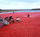 Enrivonmental impact of cranberries
