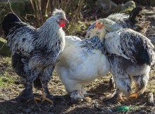 Cold-hard chicken breeds