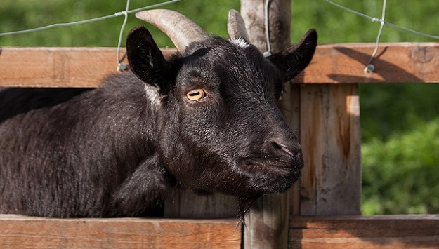 How Much Space Does a Goat Need? - The Sustainable Living Report