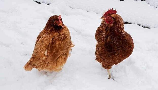 How to keep your chickens' water from freezing in the winter